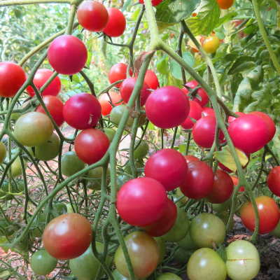 Tomatensaatgut Rose Quartz Multiflora, kleine Früchte