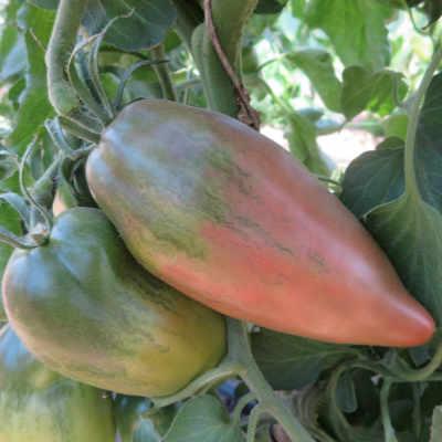 Tomatensaatgut Wessel's Purple Pride, grosse Früchte