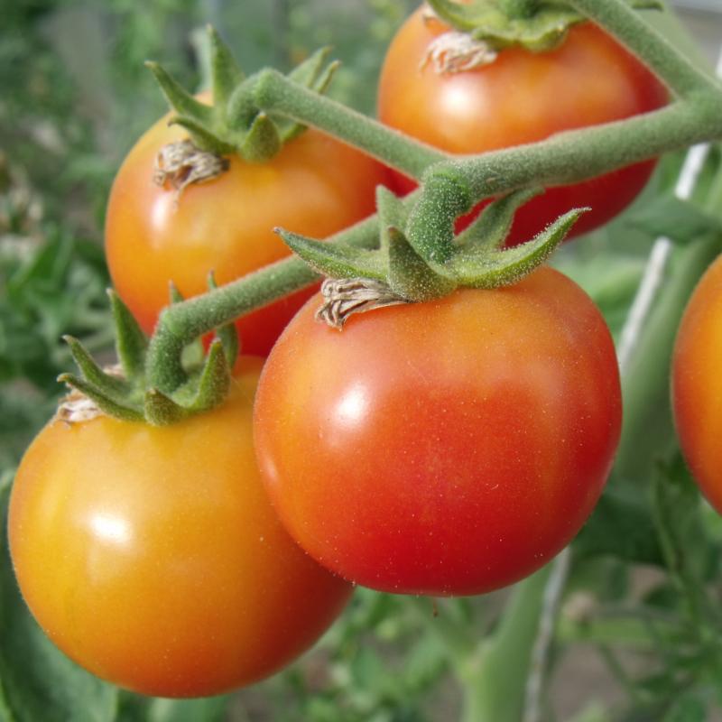 Tomatensaatgut Gajo de Melon