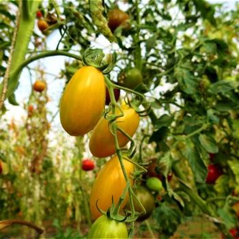 Blush, mehrfarbig-gestreifte Früchte