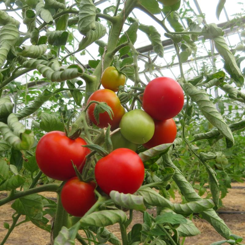 Tomatensaatgut Beymes Erntesegen