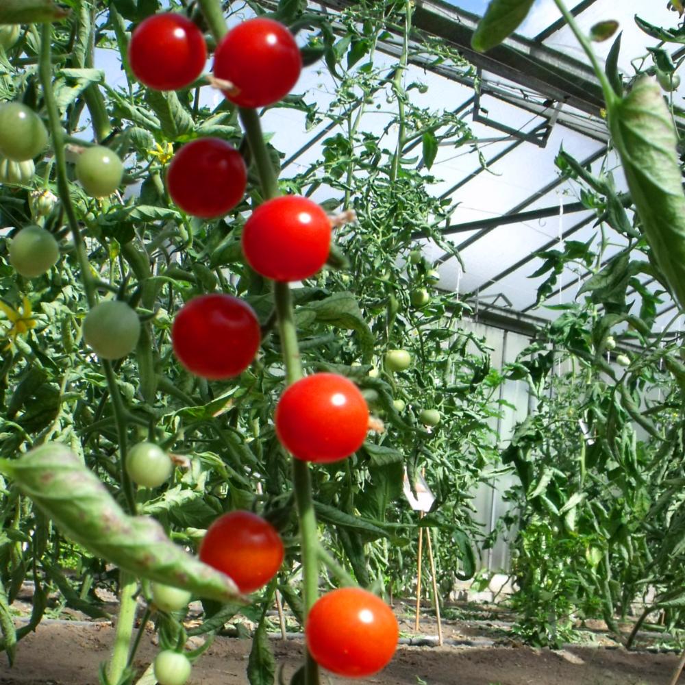Tomatensaatgut Bolivian Obst Rot
