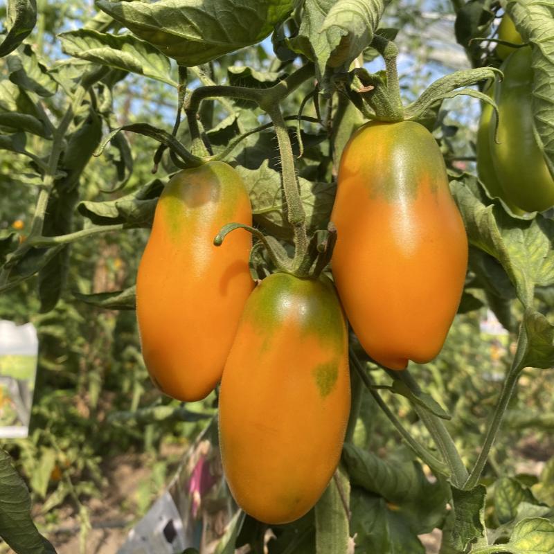 Tomatensaatgut Midas Orange