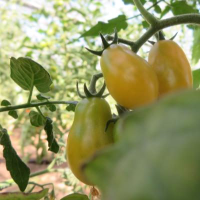 Tomatensaatgut Submarine Blush, kleine Früchte