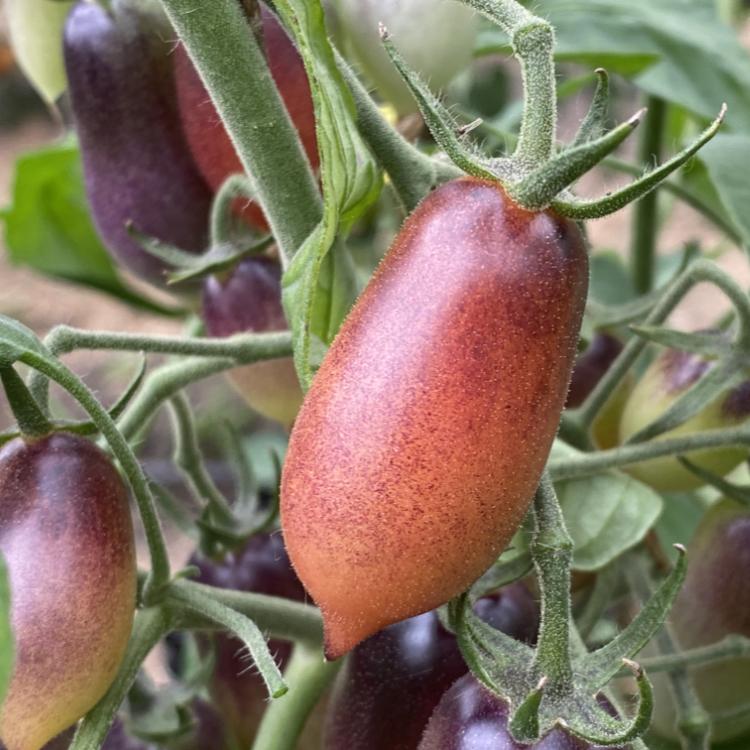 Rot und Blaue längliche Cherry Demeter Tomaten