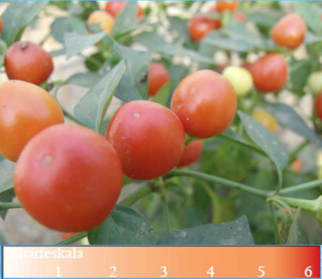 Chili Saatgut Capsicum Orangina