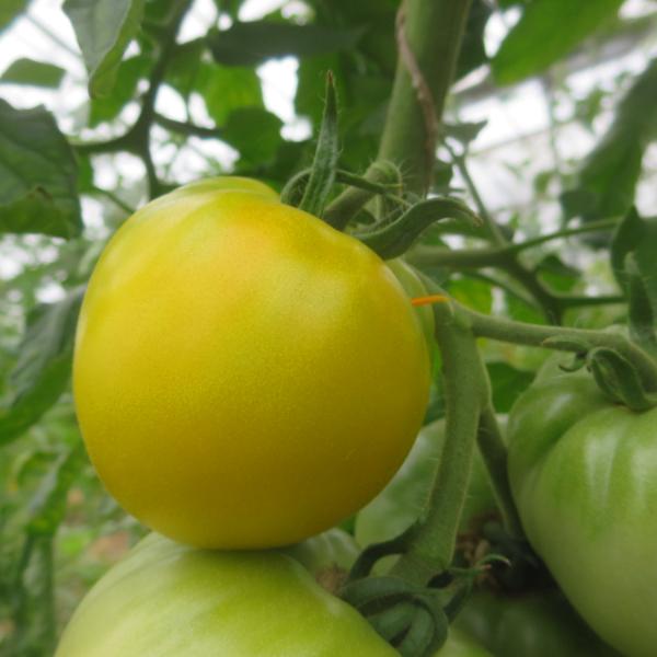 Gelbe und Grüne Tomatenpflanze mit schönem Geschmack