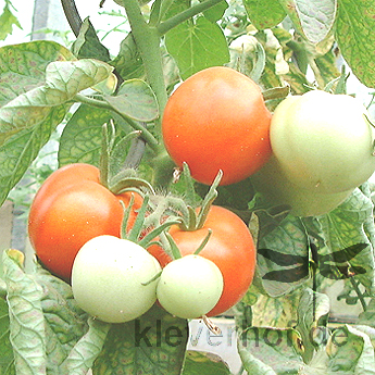 Rote Tomate mit Geschmack