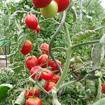 Prachvolle Rote Tomatenfrüchte mit Geschmack