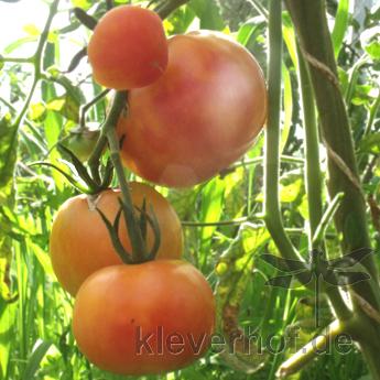Tomate Kleine Hillbilly, mehrfarbige Früchte