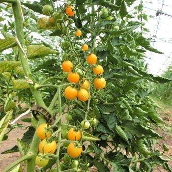 Gelbe Cherry Tomatensorte mit gutem Geschmack