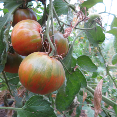 Tomatensaatgut Cherokee Lime Stripes, grosse Früchte