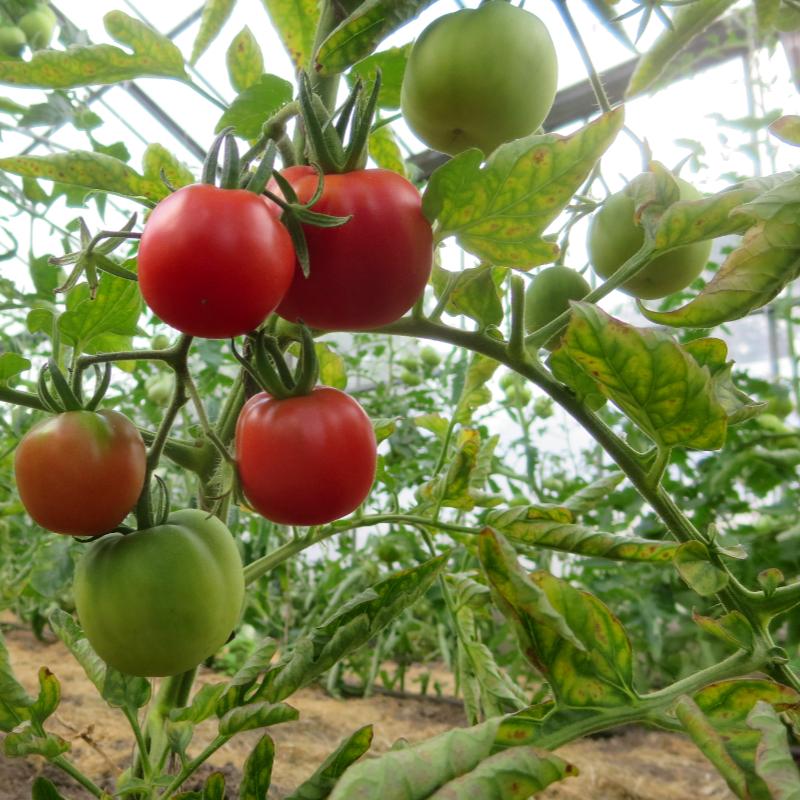 Tomatensaatgut Zuan Hong Kiao, mittelgrosse Früchte