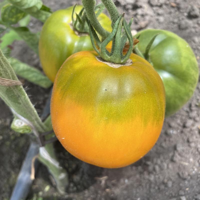 Gelbe Tomatenpflanze mit Günem Kopf