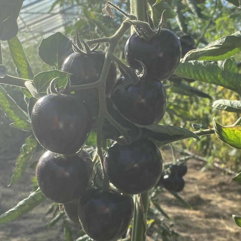 Rot und Blaue Tomatenfrüchte mit Geschmack