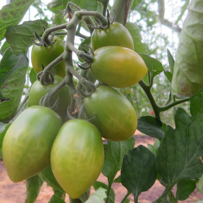 Grün gestreifter Cherry Bio Tomatenstrauch