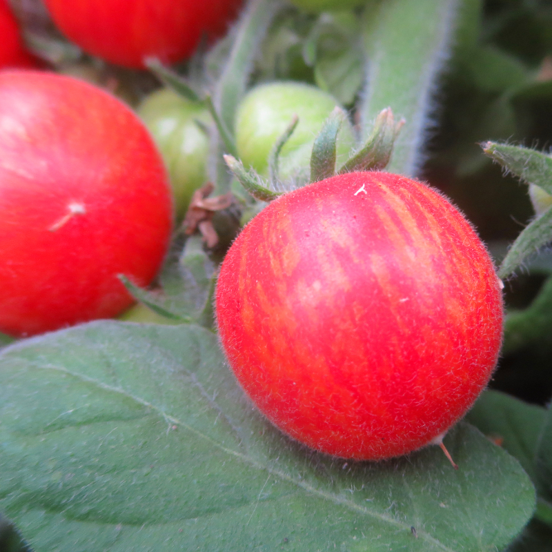 Rot gestreifte Bio Tomate