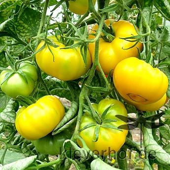 Gelbe Tomatensorte
