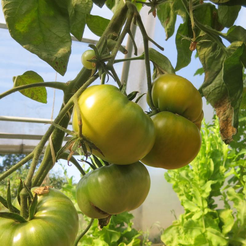 Tomatensaatgut Charlie Green