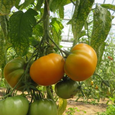 Tomatensaatgut Kellogg's Breakfast, grosse Früchte