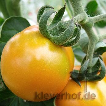 Orange und Gelbe Bio Tomate mit echtem Geschmack