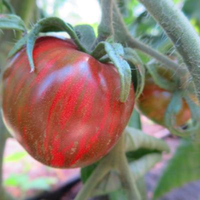 Tomatensaatgut Striped Sweetheart Dark, mittelgrosse Früchte