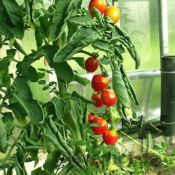 Tomatensaatgut Maiglöckchen, kleine Früchte