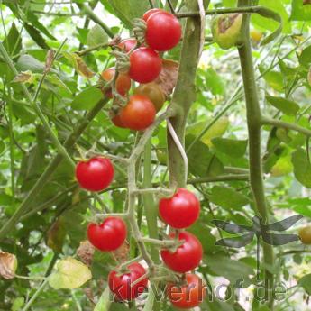 Roter Cherry Demeter Tomatenstrauch
