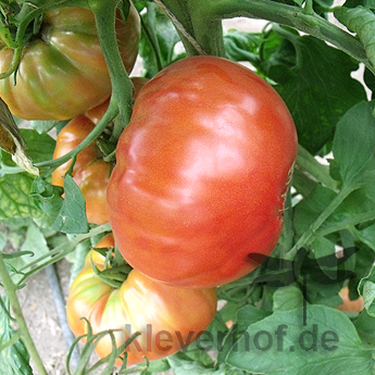 Puszta Koloss, grosse Früchte
