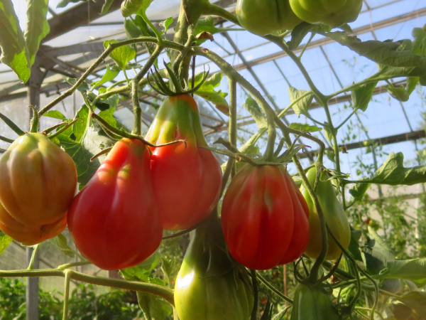 Coole Rote Tomatenfrucht