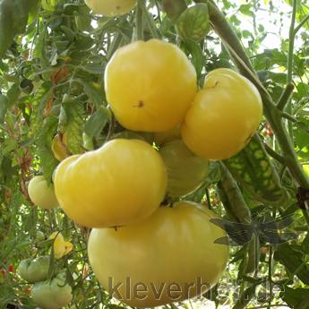 Weiß und Gelbe Tomatenfrucht mit Geschmack