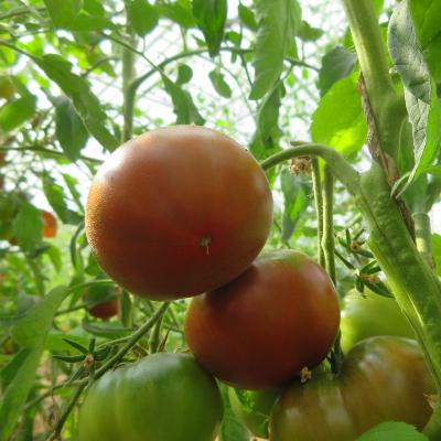Braune Prachvolle Tomatenvielfalt