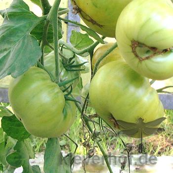 Evergreen, grosse Früchte