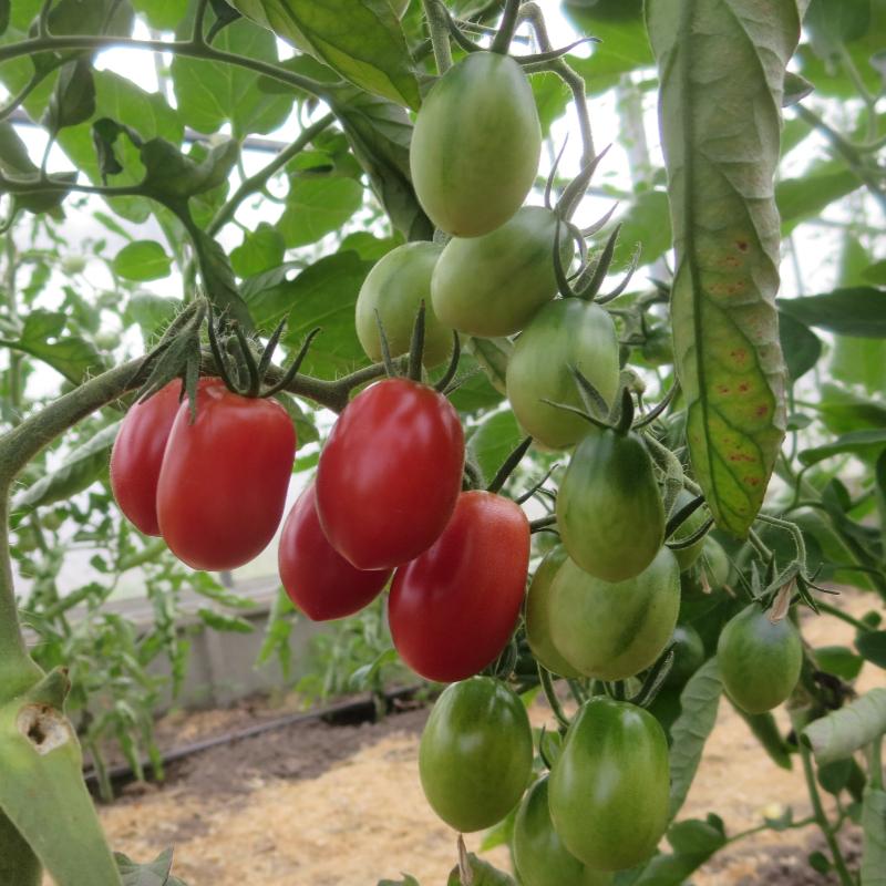 Rote längliche Cherry Demeter Tomate