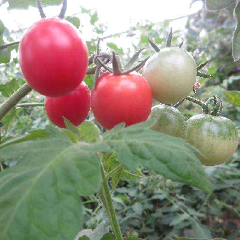 Tomatensaatgut Fruit Punch, kleine Früchte