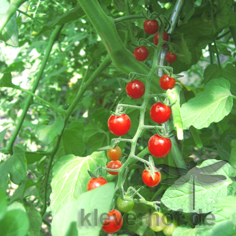 Rote Wildtomate, wilde Tomaten