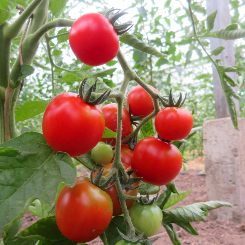 Tomatensaatgut God Love, mittelgrosse Früchte