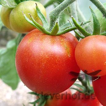 Tomatensaatgut Bloody Butcher, mittelgrosse Früchte