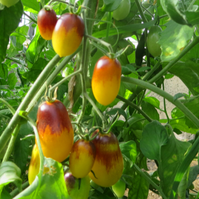 Gelb/Rote Tomatenrarität
