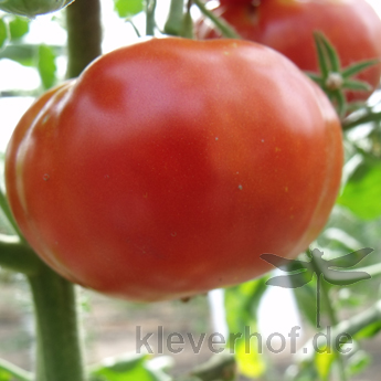 Marysma, grosse Früchte