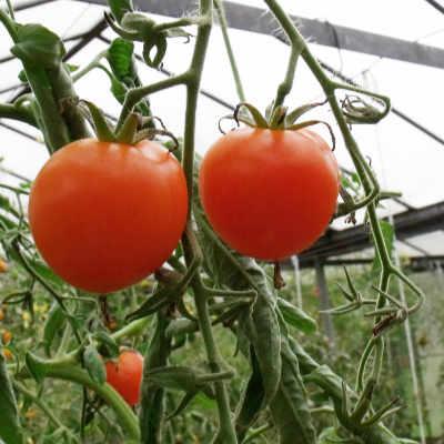 Tomatensaatgut Sungella, mittelgrosse Früchte