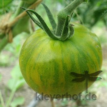 Grün gestreifte schöne Bio Tomate