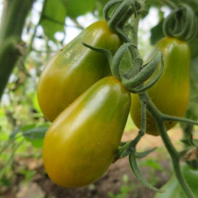 Grün und Gelbe Tomatenfrucht mit Geschmack