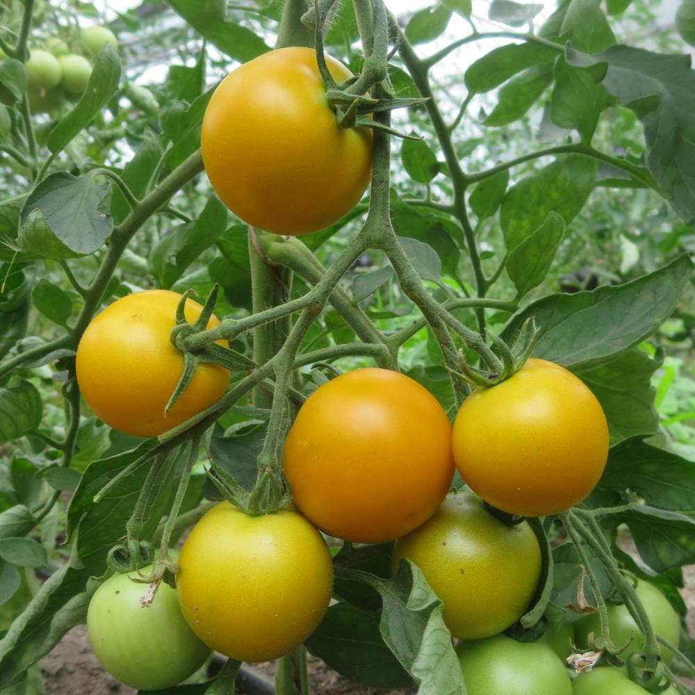 Tomatensaatgut Diospiro da Maia