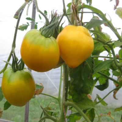 Tomatensaatgut Golden King of Sibiria, grosse Früchte
