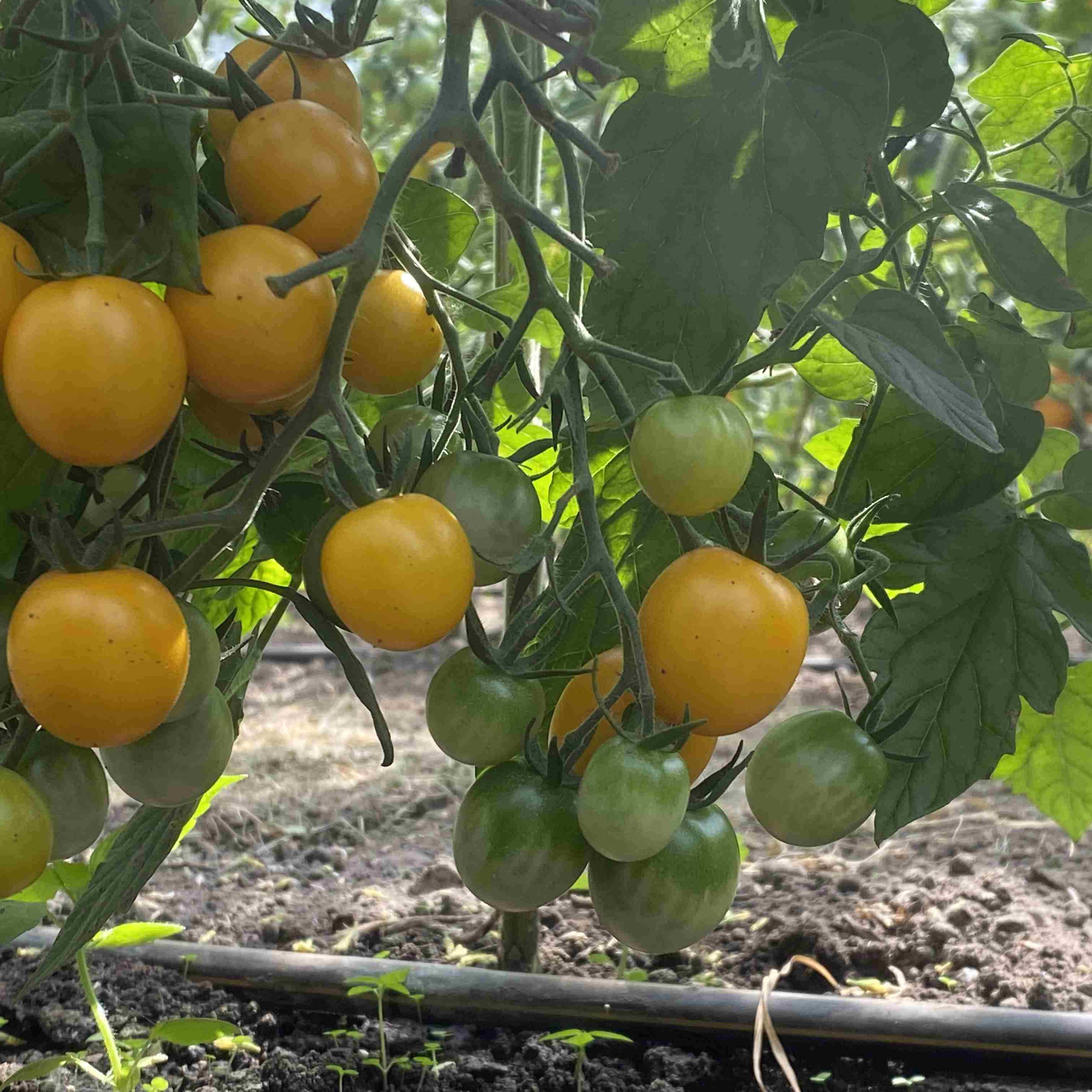 Tomatensaatgut Goldkrone