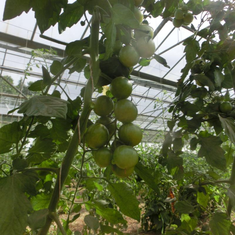 Tomatensaatgut Lana Tropical