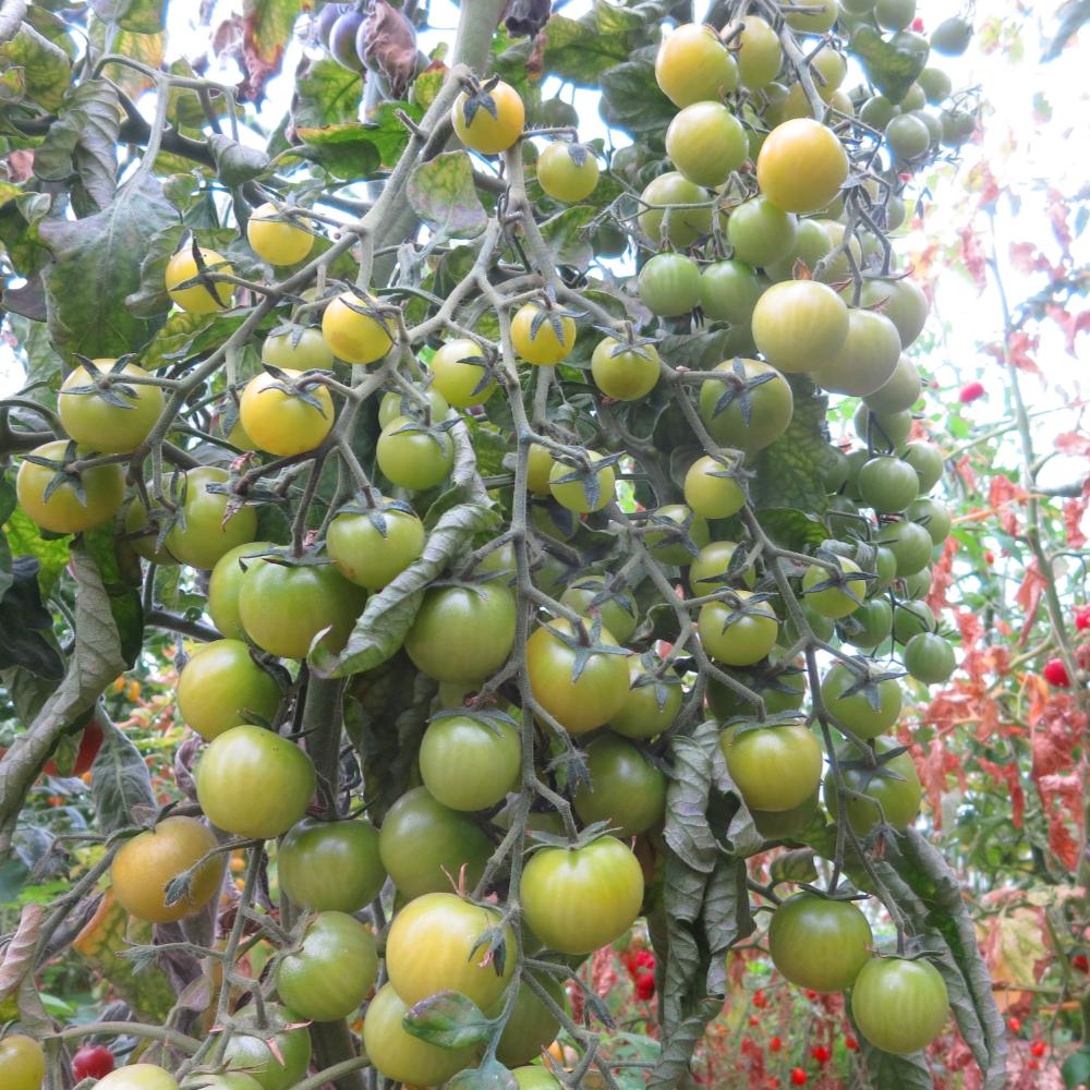 Grün/Gelbe Tomatenvielfalt