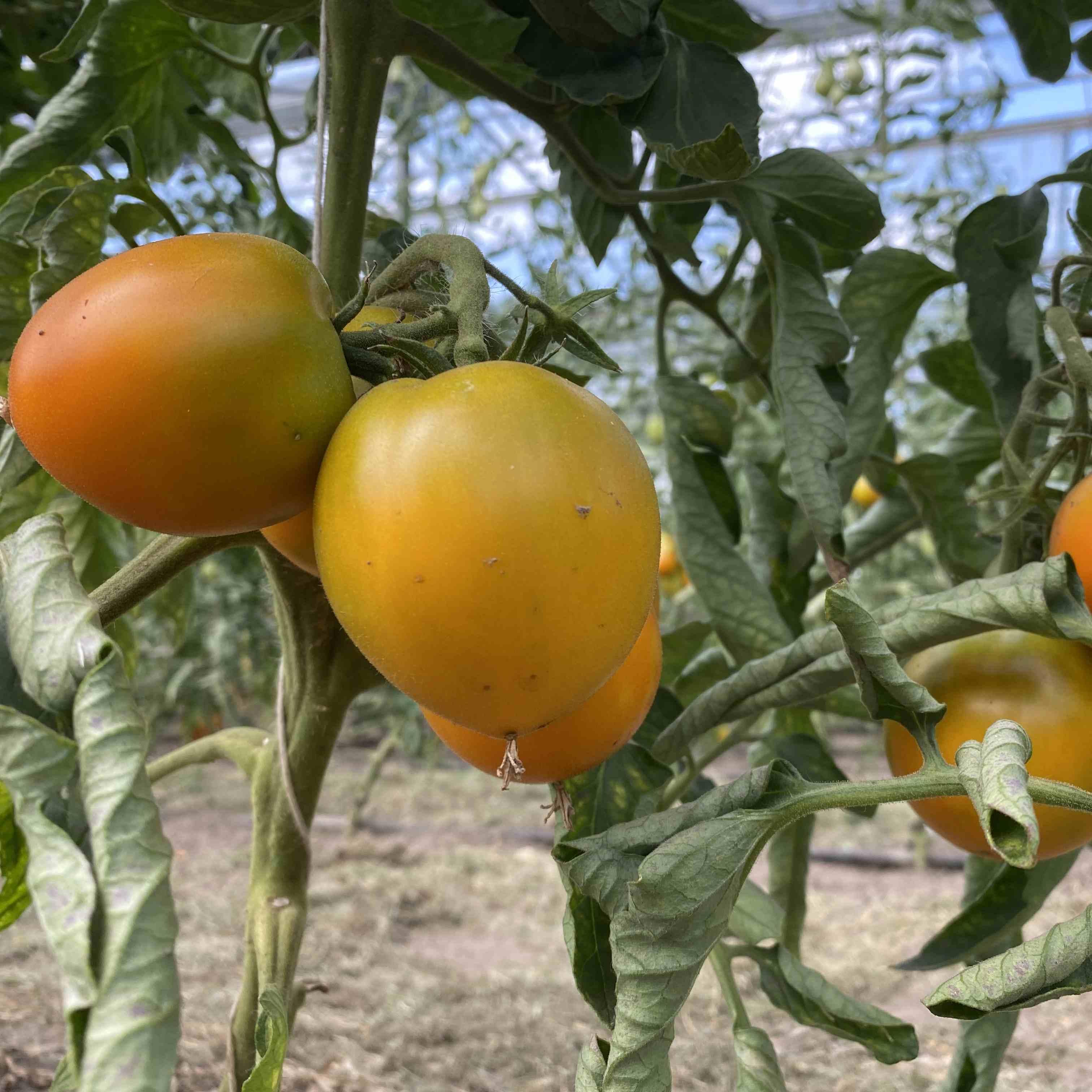 Tomatensaatgut Dills Gelbe Helene