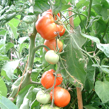 Royale des Guinneaux, grosse Früchte